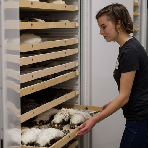 a woman closes a drawer in the bird collection