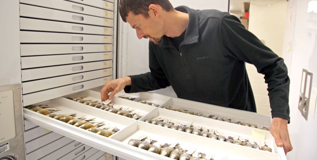 a man leans in as he opens a drawer of birds specimens in the collection