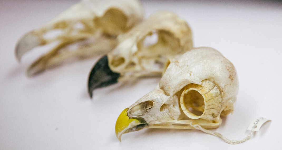 three cleaned bird skulls