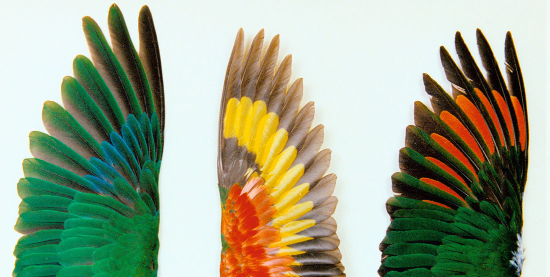three spread parrot wings