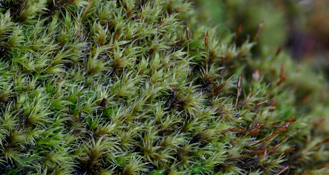 Green bryophytes growing in the wild