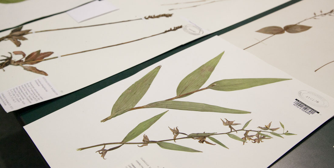pressed plants on sheets of paper to be added to the collection