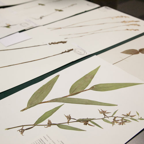 pressed plants on herbarium sheets