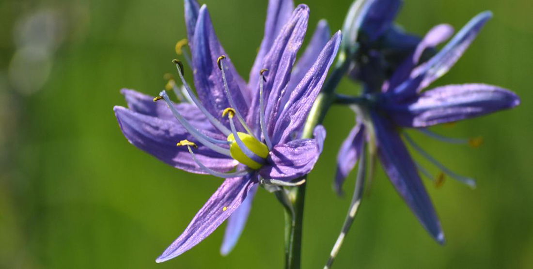 A close up view of a purple blooming camas flower
