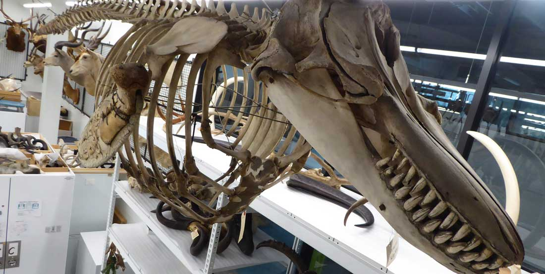 orca skeleton in burke mammalogy collection space