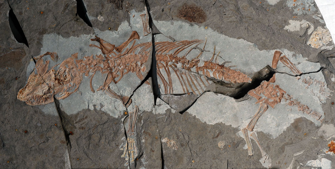 fossilized early mammal in rock