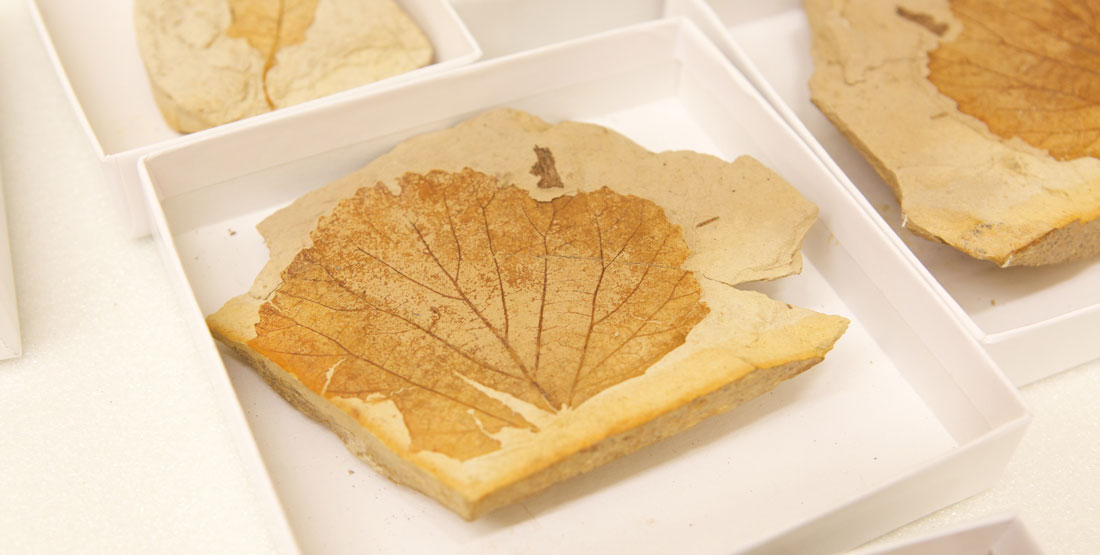 fossil leaf specimens in the collection drawer