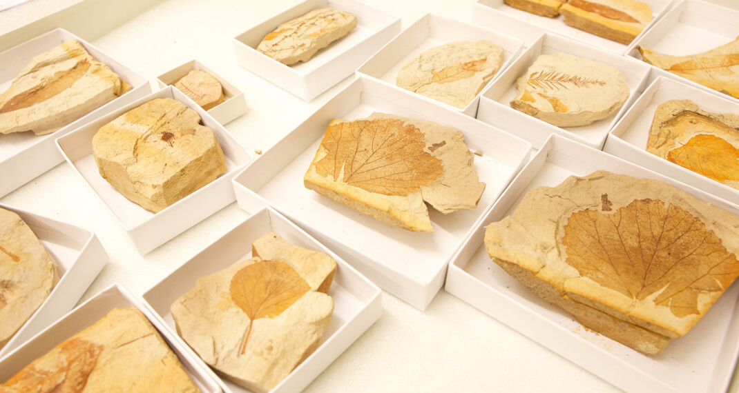 fossil leaves in small collections boxes on a table