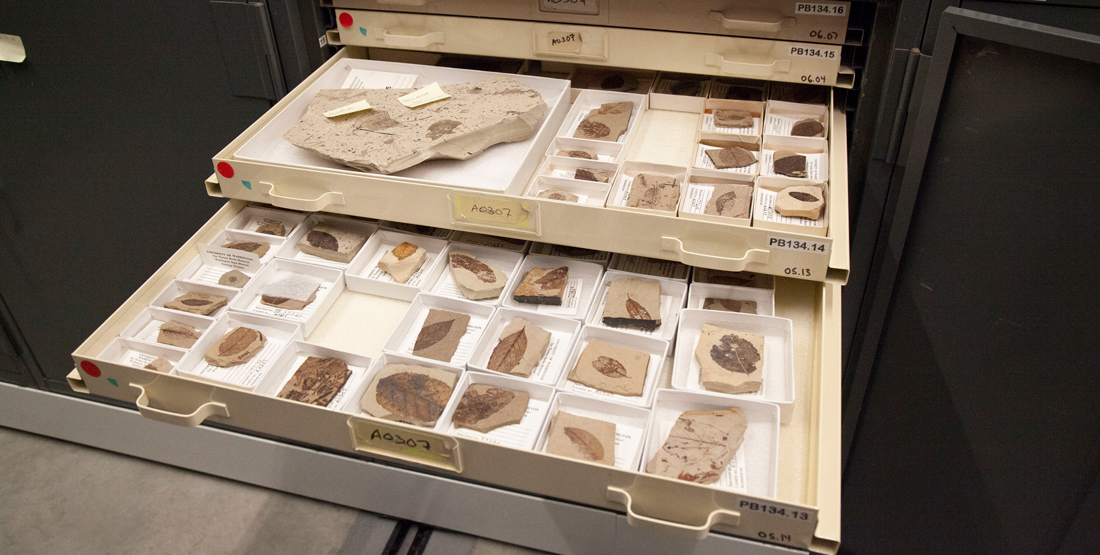 an open drawer in the collection with lots of fossil plant samples
