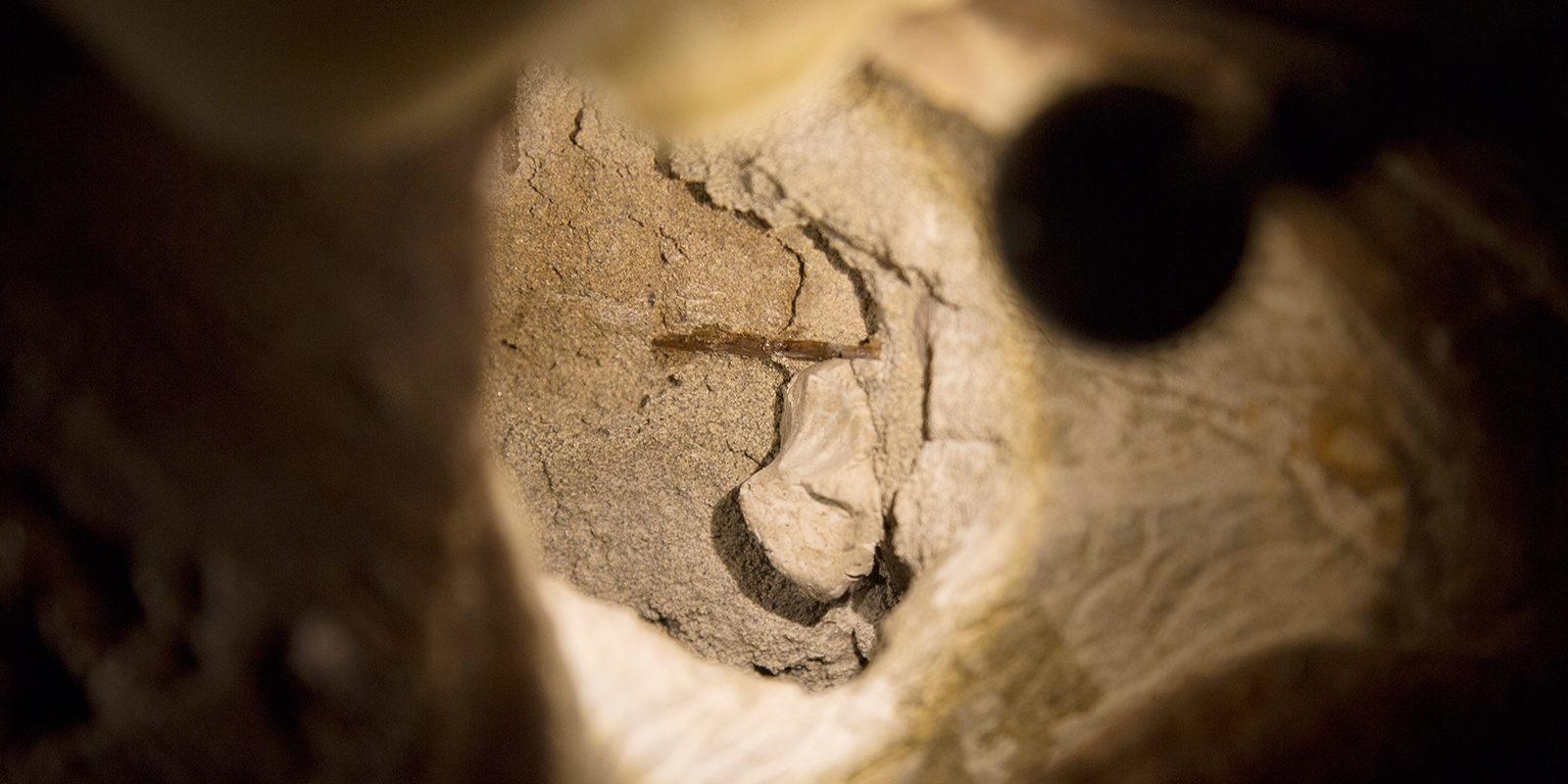 A closeup of a small, fragile bone within the T. rex skull