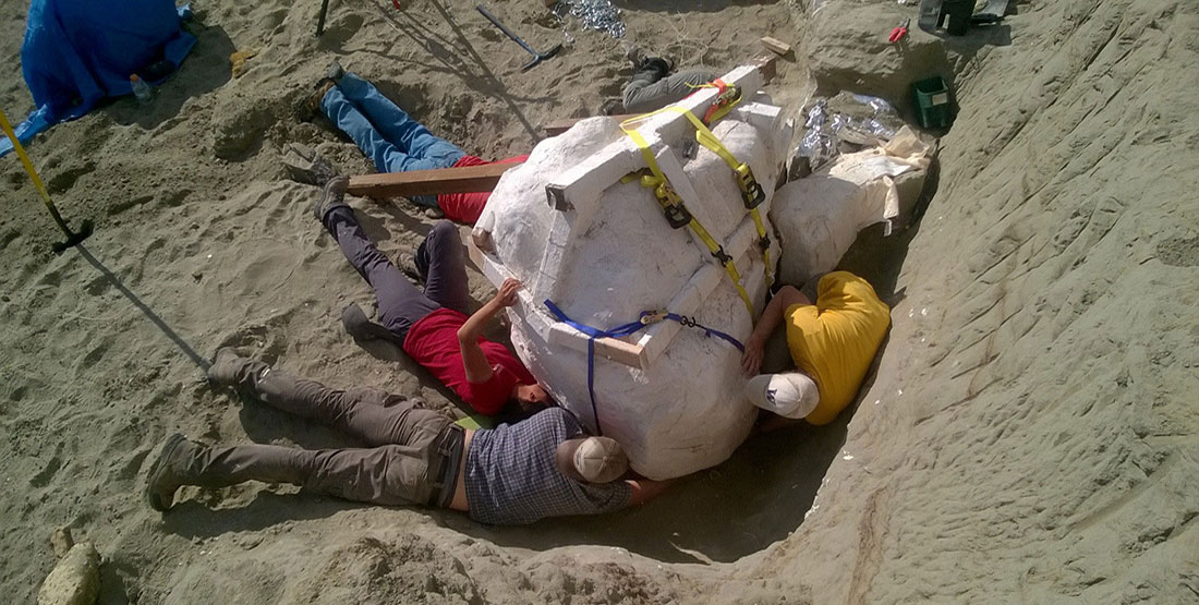Five paleontologists and volunteers lay on the dirt trying to free the T. rex skull's massive plaster jacket