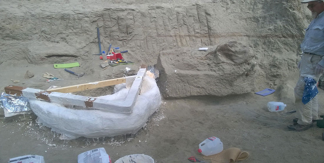 A large plaster field jacket is applied to T. rex ribs while the T. rex skull is exposed