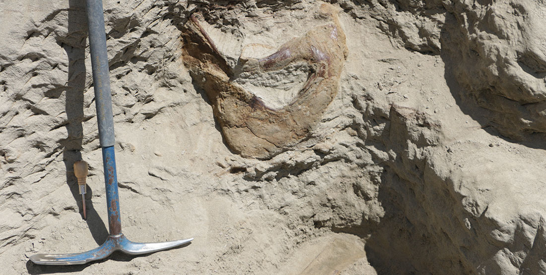 The back of the T. rex skull sticking out of the hill with a pick axe next to it for scale