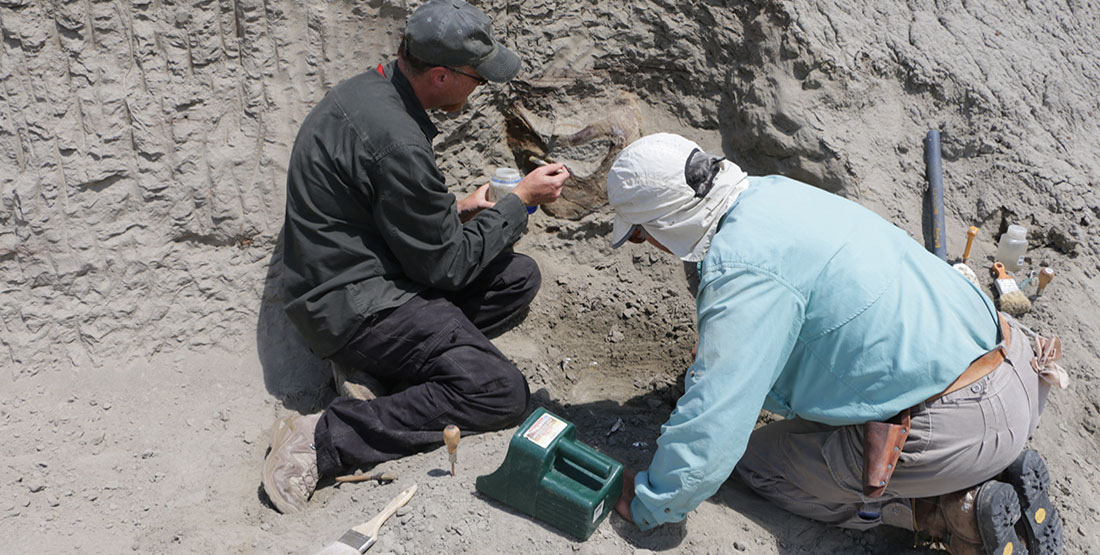 Burke paleontologists paint a glue on the back of the T. rex skull while it's still in the hill