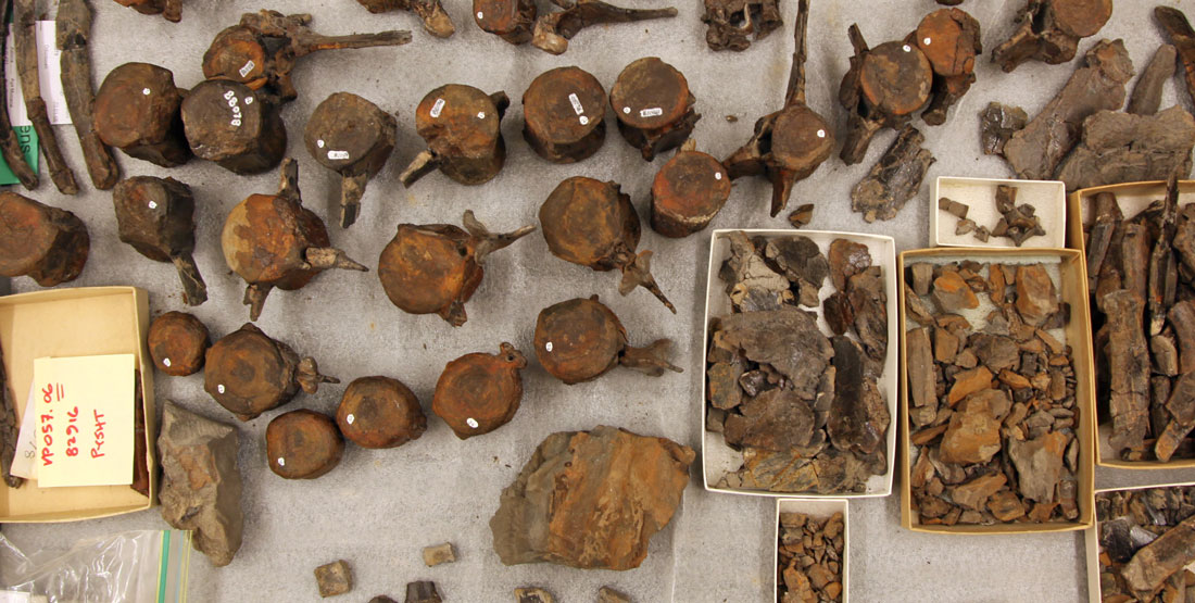 Lots of individual vertebrae and other fossilized dophin bones lay on a table