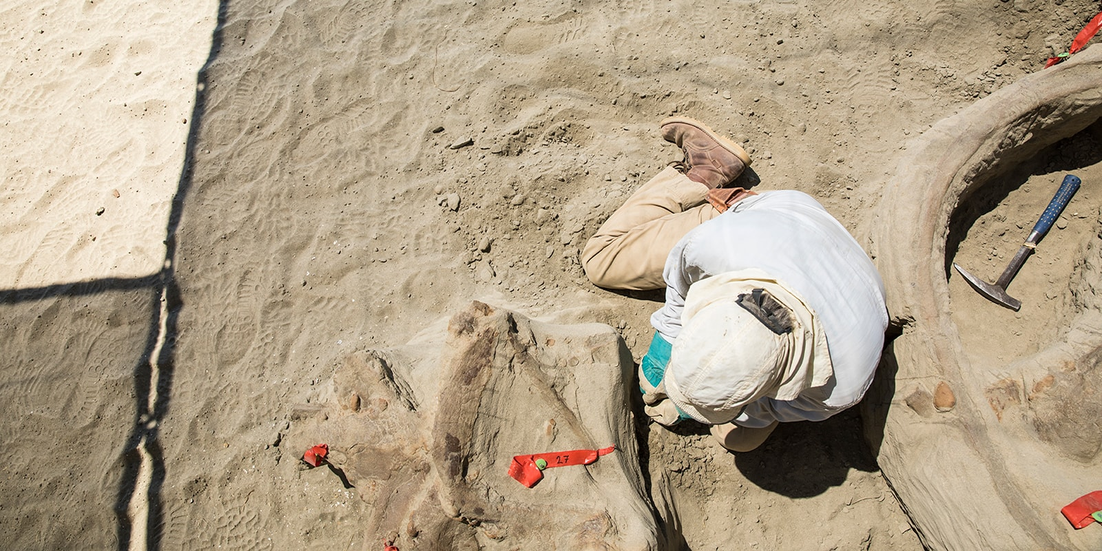 A man wearing a white head covering to protect from the sun digging surrounded by t. rex bones
