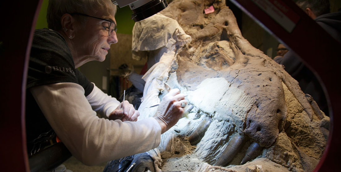 A woman uses a detail brush to brush away dirt from the T. rex skull
