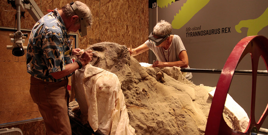 A man and a women work with hand tools to brush away dirt from the T. rex skull