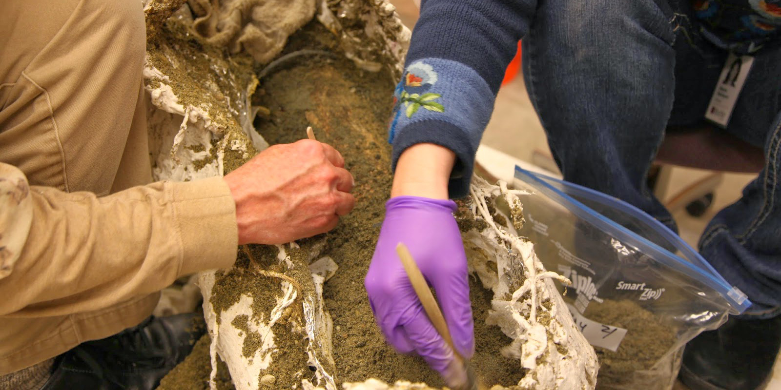 Two people in a lab brush away the dirt surrounding a mammoth tusk