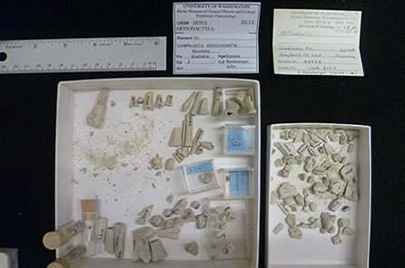 Small bone fragments housed in large shallow boxesm with a ruler for scale