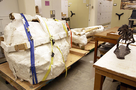 The plaster jacket that contains the full T. rex skull sits in the workroom
