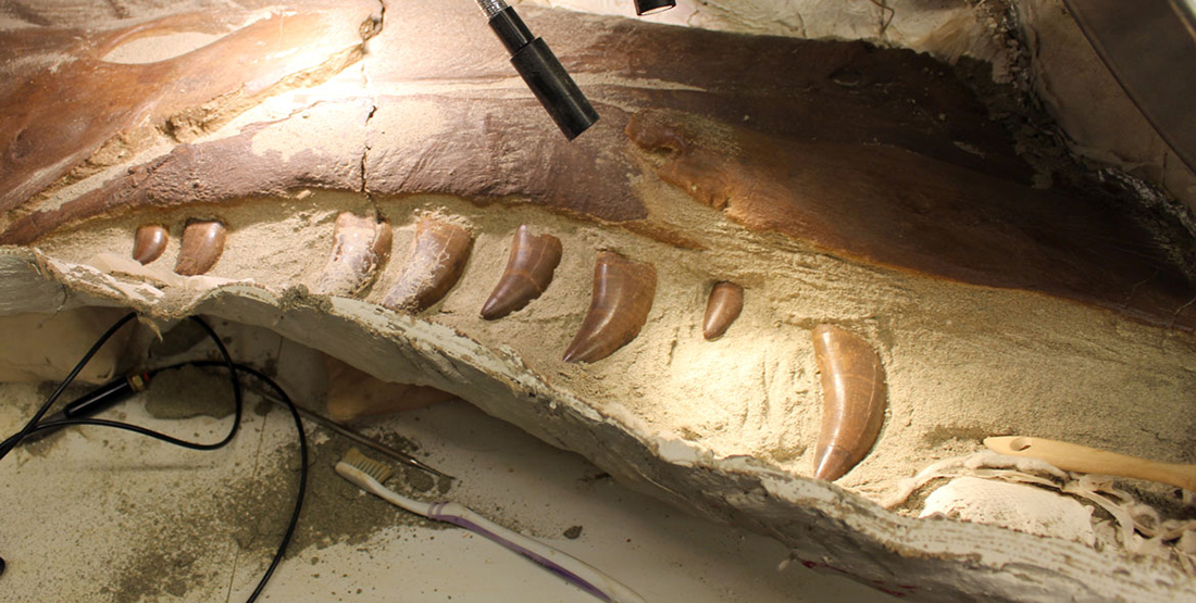 A close up view of the upper jaw of the T. rex skull with teeth visible