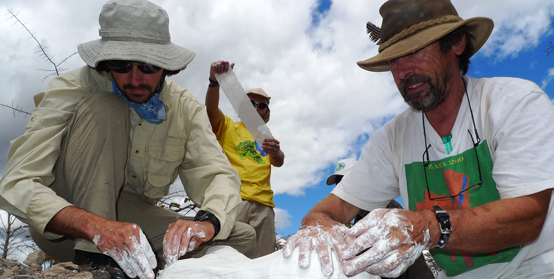 three men apply burlap strips dipped in plaster to the top of the fossil in the field