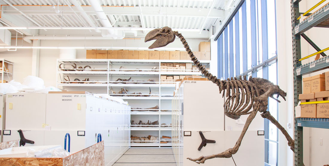 an articulated terror bird in the paleontology collection space with cabinets and shelves behind
