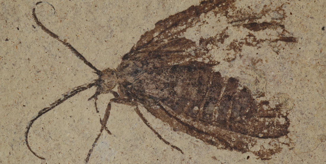 A fossil insect with the wings and antenna showing