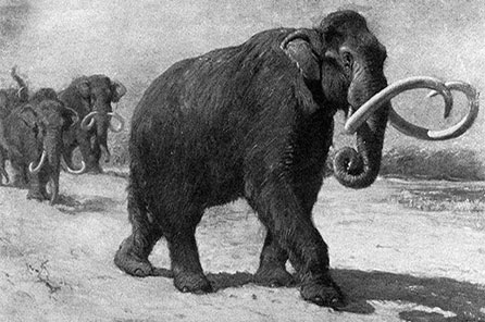 A black and white illustration of a columbian mammoth with several others following close behind