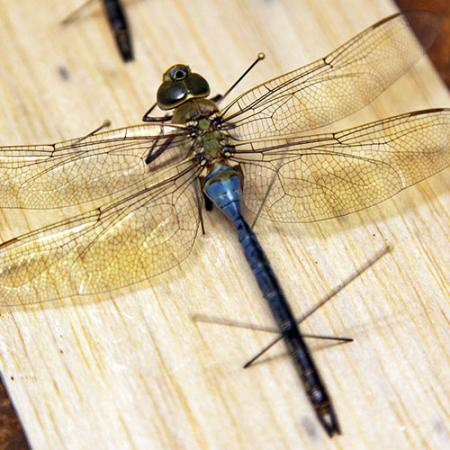 close up of pinned dragonfly