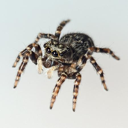 A full-body view of a live male spider