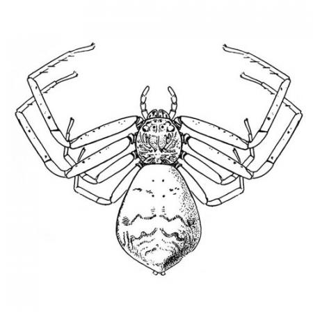 Illustration: Tmarus angulatus, a crab spider