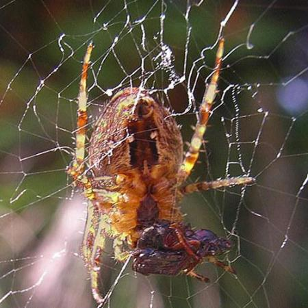 cross spider consuming its prey
