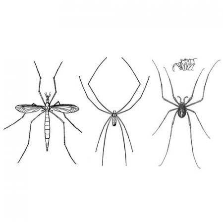 illustrations of a crane fly, house spider and a harvestman to compare them next to each other