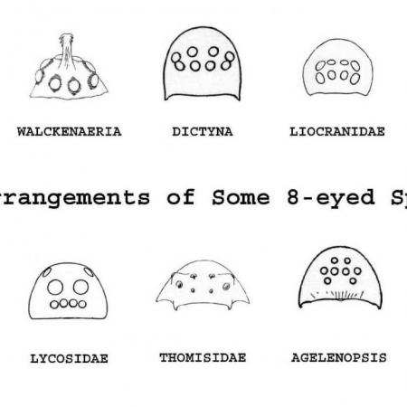 An illustration of spider eye arrangements