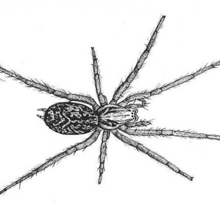 hobo spider illustration