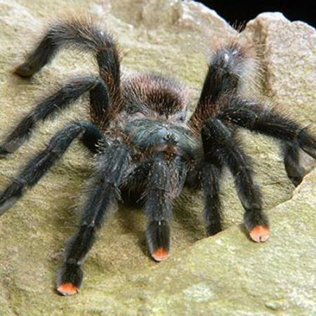 spider with pink toe coloration