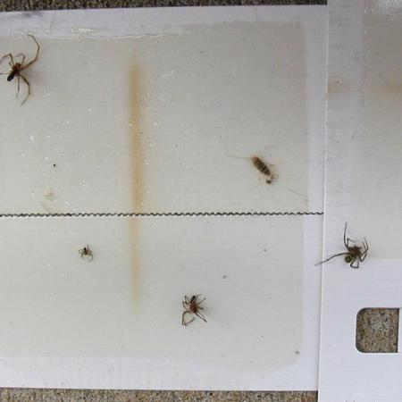 Dead spiders on sticky paper