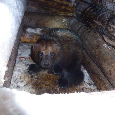 A wolverine inside of a wooden log structure covered in snow