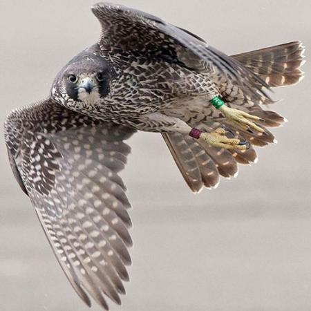 A Peregrine Falcon in flight and looking directly at the camera