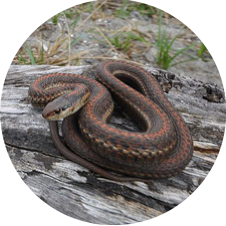 a garter snake coiled and sitting on a fallen log
