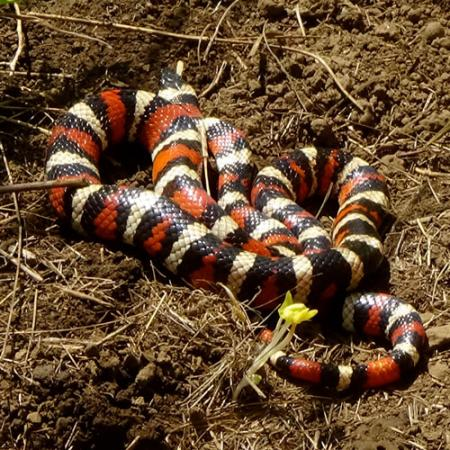 A black, white, and red stiped snake sitting in brown dirt