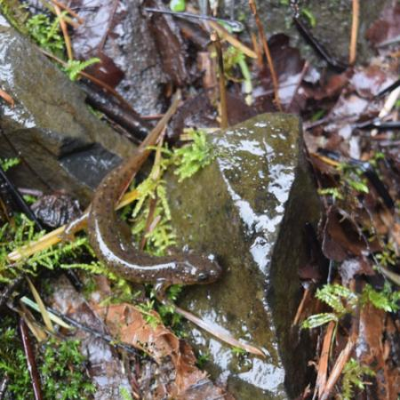 A light brown with black and tan spots salamander next to a small rock on the wet ground