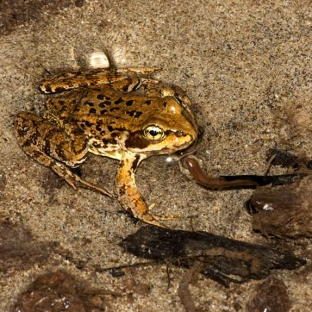 A frog that is brown with black spots on its back and yellow on its underside, sitting in shallow water with sand