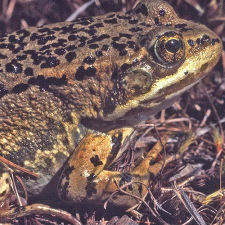 A brown frog with black spots on the top side of its body sits on twigs on the ground