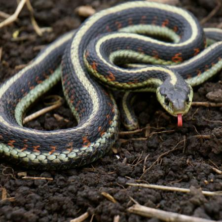 A black and white common gartersnake on the ground with its red tongue out