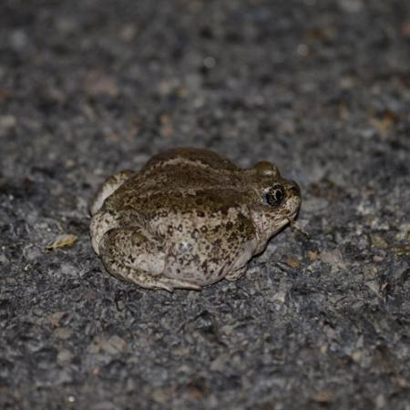 A small and squat green and white blotchy frog sits on the ground