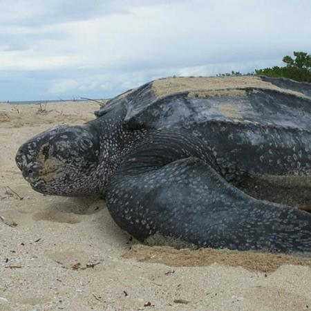 A leatherback sea turtle on a sandy beach