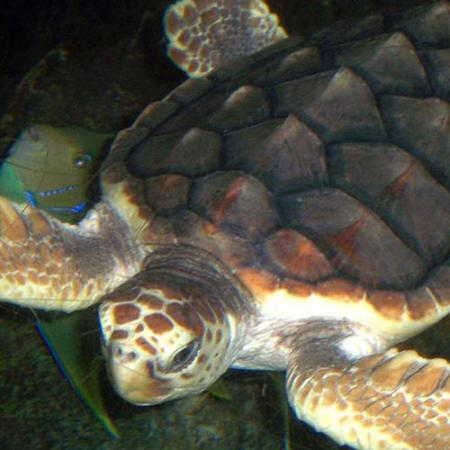 A Loggerhead Sea Turtle